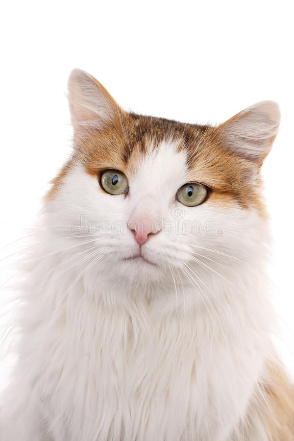 Longhaired housecat. Portrait against the white background royalty free stock photos