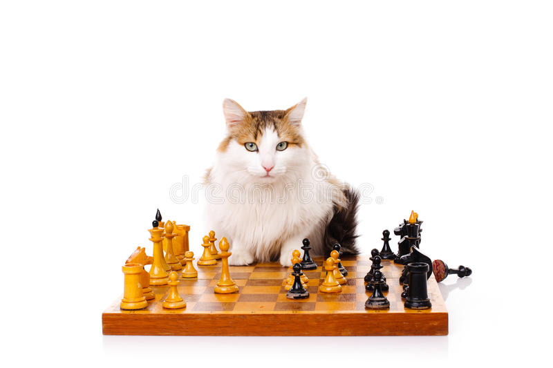 Longhaired housecat plays chess. Against the white background royalty free stock image