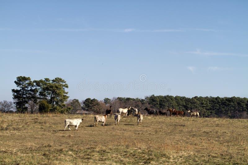 Longhornów koni i krów krajobraz zdjęcia stock