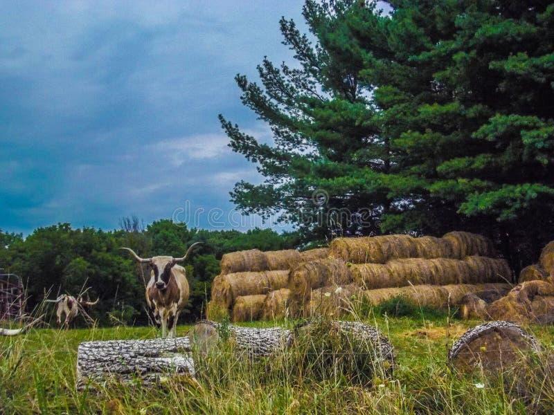 longhorn στοκ φωτογραφίες με δικαίωμα ελεύθερης χρήσης