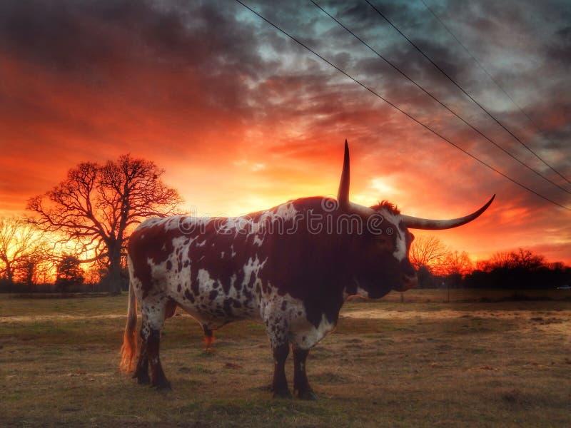 longhorn arkivfoton