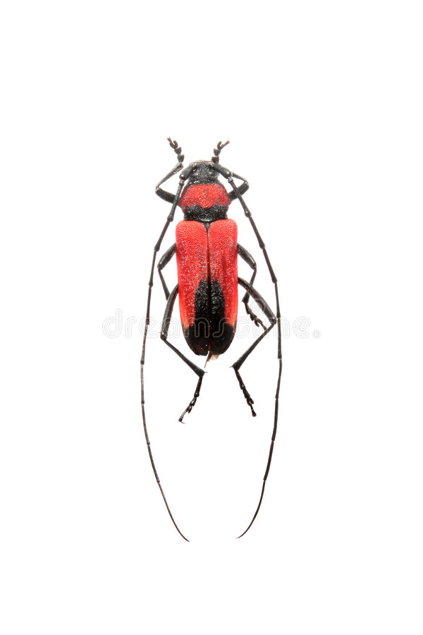 Download Longhorn beetle stock photo. Image of white, nature, pest - 7080274