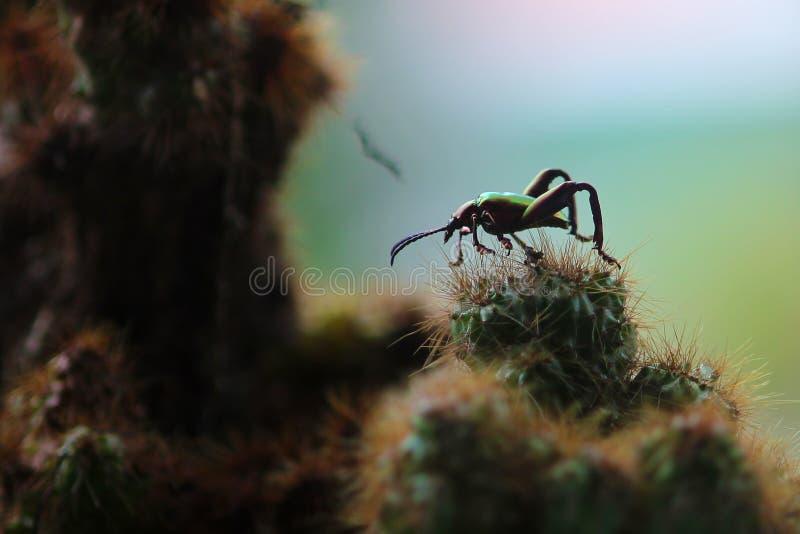 Longhorn beetle in the cactus tree stock image