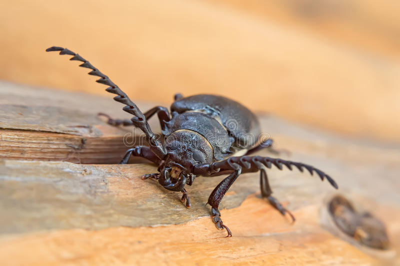 Longhorn beetle. Female of longhorn beetle Prionus coriarius, sawing beetle, sawyer on the wood, front view royalty free stock photography