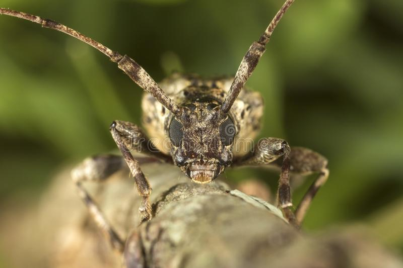 Longhorn beetle front view on a tree branch royalty free stock image