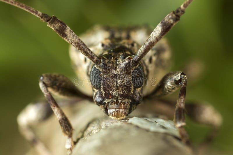 Longhorn beetle portrait on a tree branch stock photo