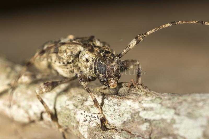 Longhorn beetle on a tree branch stock photos