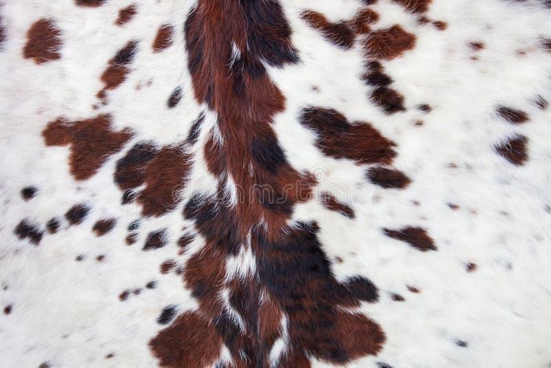 Longhorn biała skóra wołowa z czarnych i brown spots/futerka backgroun fotografia royalty free