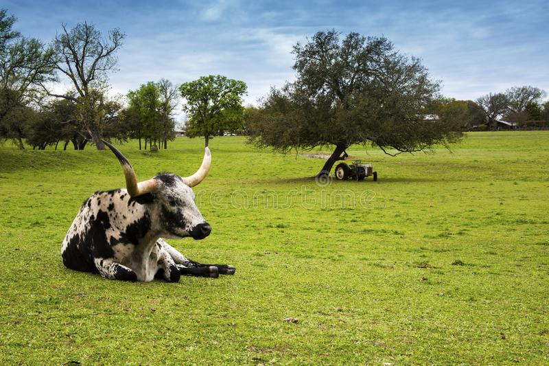 Longhorn Cattle Relaxing on a Hill Country Ranch in Texas. Resting in a field stock image