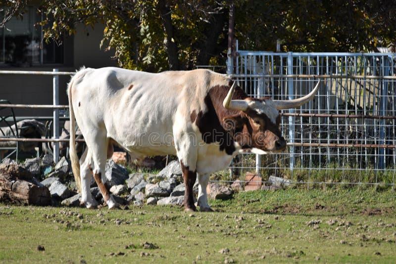 Longhorn du Texas dans le pâturage image stock