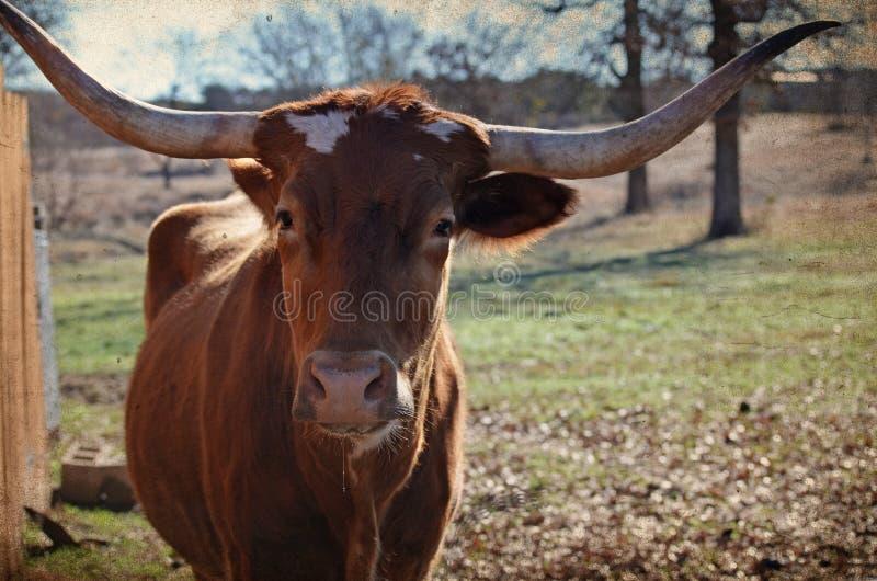 Longhorn-Färse mit rustikaler Bildbeschaffenheit Groß für Landwirtschaftsindustriebild oder Ranchdekordruck lizenzfreie stockfotografie