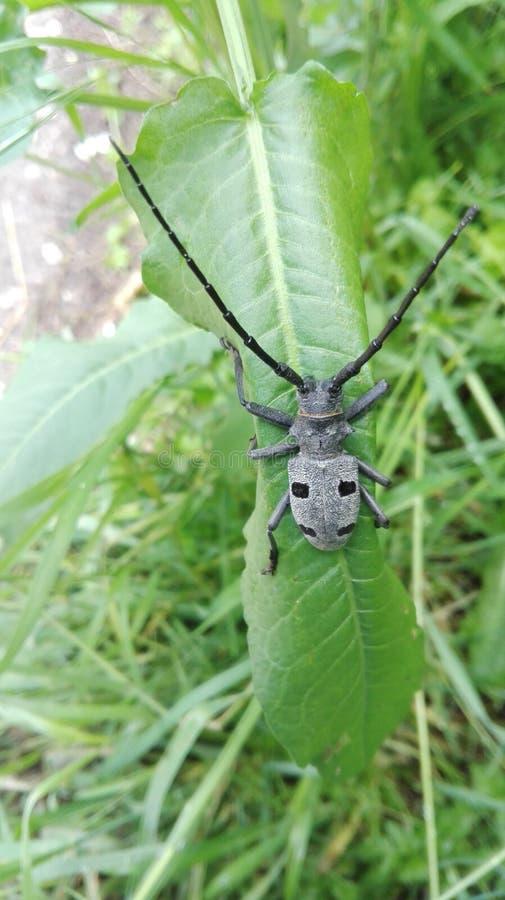 Longhorn-Käfer stockfoto