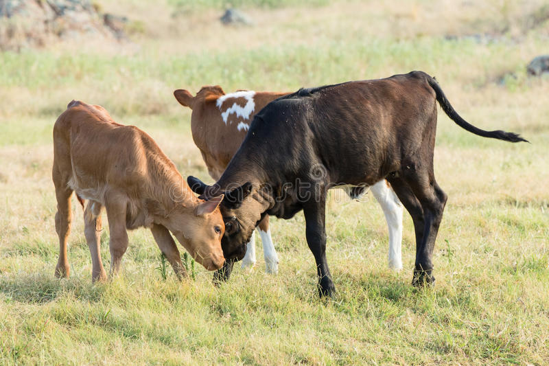 Longhorn-Kälber am Spielen wild stockbilder