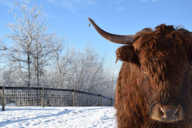 Longhorn krowa zdjęcie royalty free