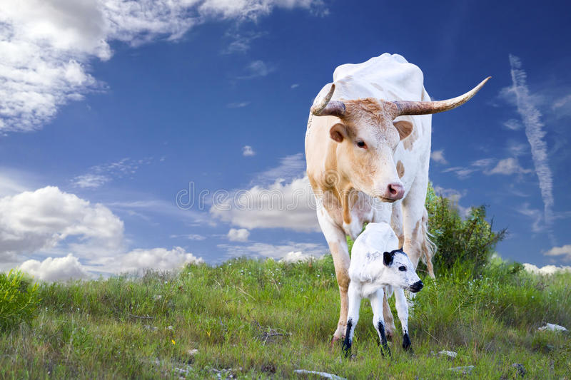 Longhorn-Kuh und -kalb stockfotos