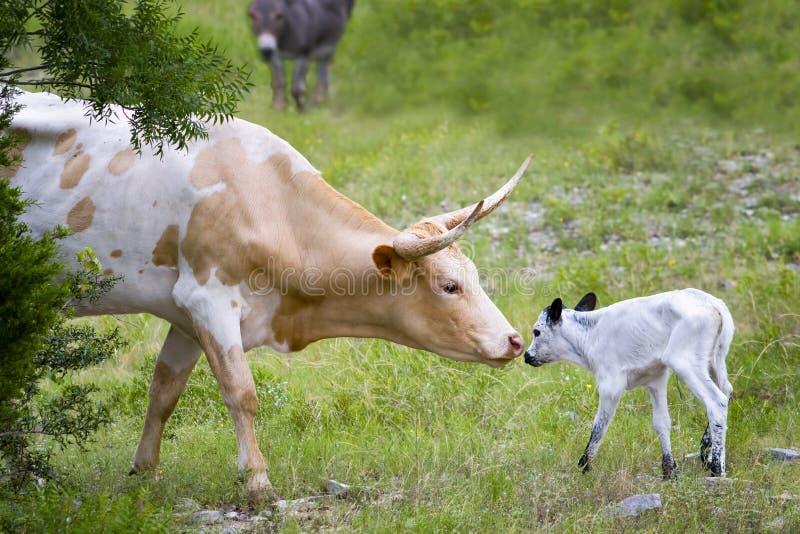 Longhorn-Kuh und -kalb lizenzfreie stockfotos