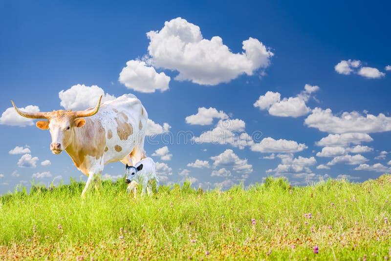 Longhorn-Kuh und -kalb lizenzfreies stockfoto