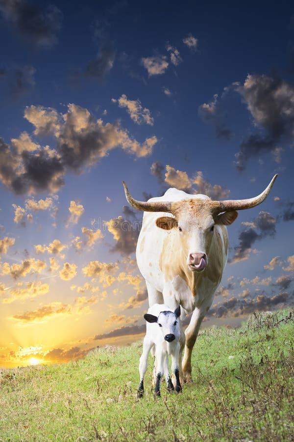 Longhorn-Kuh und -kalb, die bei Sonnenaufgang weiden lassen lizenzfreies stockbild