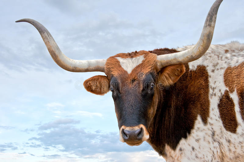 Longhorn and Sky royalty free stock photography