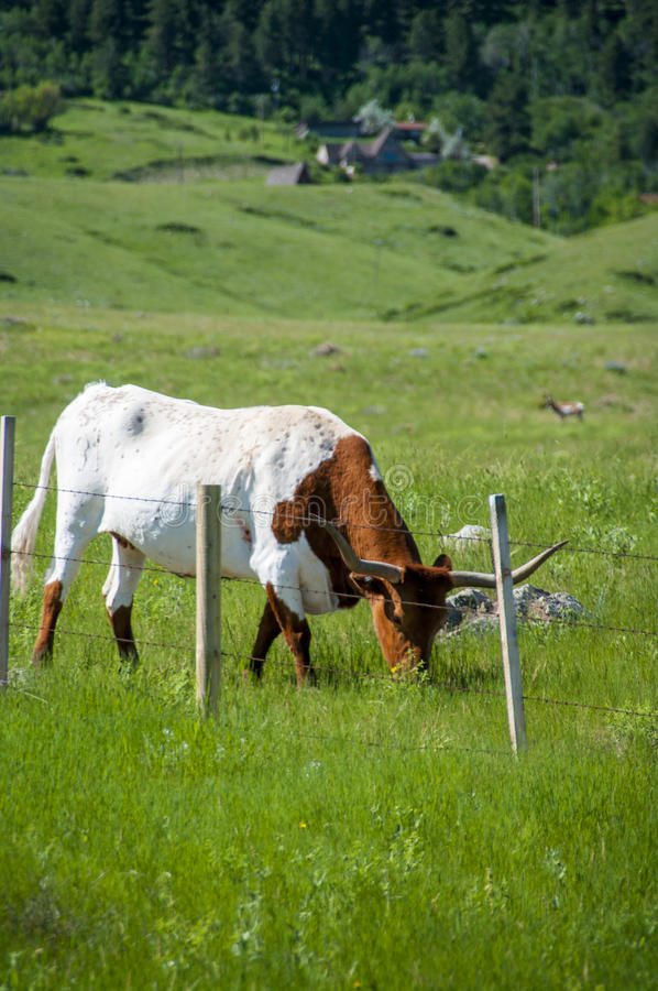 Longhorn Stier mit Hörnern stockbild
