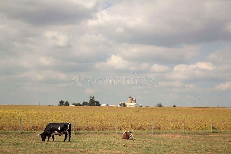 Longhorn-Vieh auf dem Gebiet lizenzfreie stockbilder