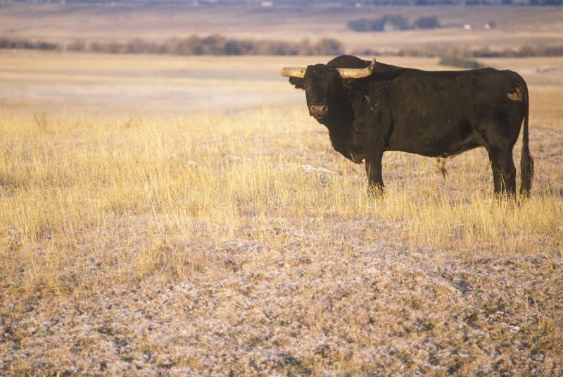 Longhorn-Vieh auf Ne-Grasland stockfoto