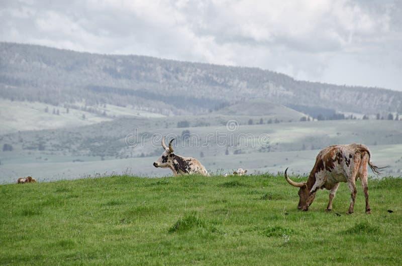 Longhorns υψηλό επάνω από το άσπρο πουλί στοκ φωτογραφίες με δικαίωμα ελεύθερης χρήσης