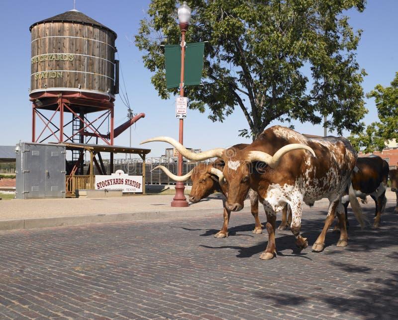 Longhorns que andam abaixo da rua imagem de stock