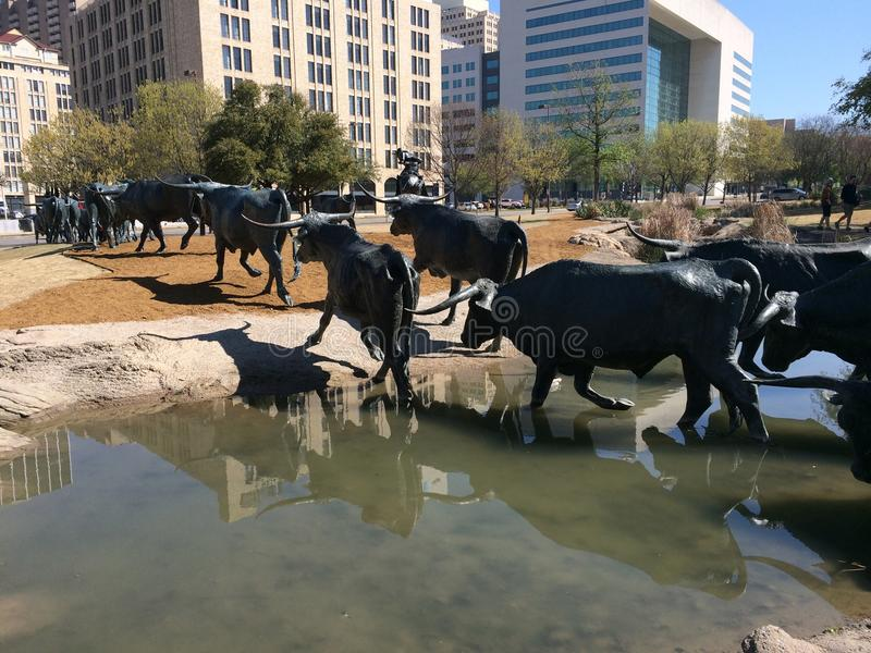 Longhornsna av Dallas Texas royaltyfri foto