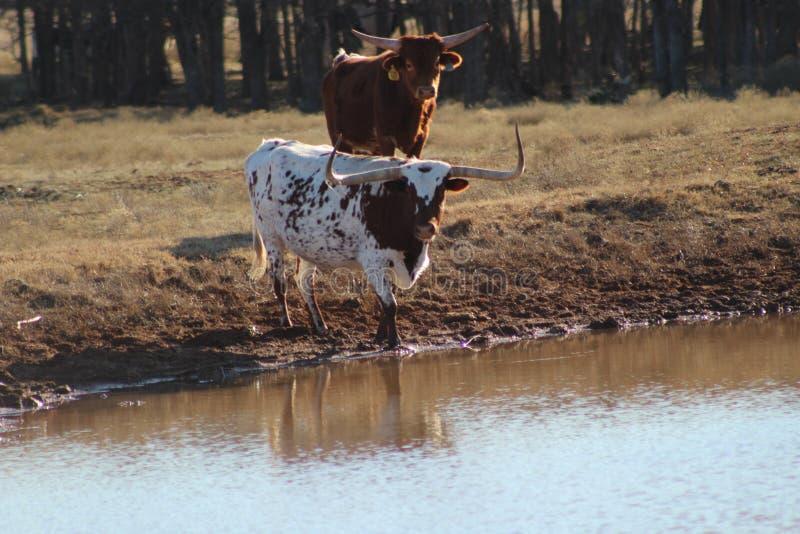 Longhornvattenavbrott arkivfoto