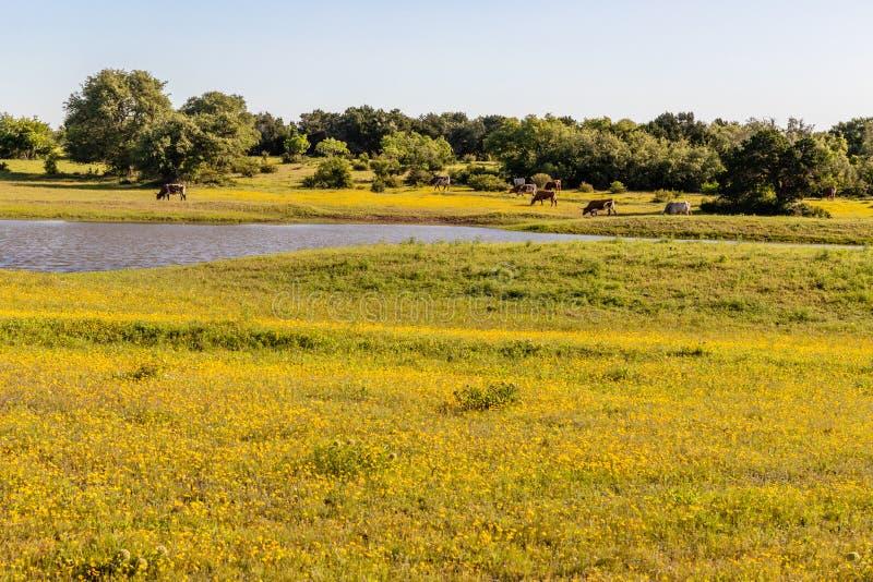 Longhornvee het weiden op een gebied van gele wildflowers stock foto's