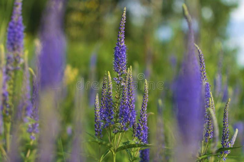 Longifolia del Veronica - wildflowers imagen de archivo