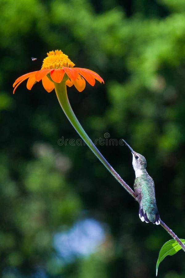 The longing stem humming bird. A hummingbird sitting on a stem eyeballing a meal royalty free stock photo
