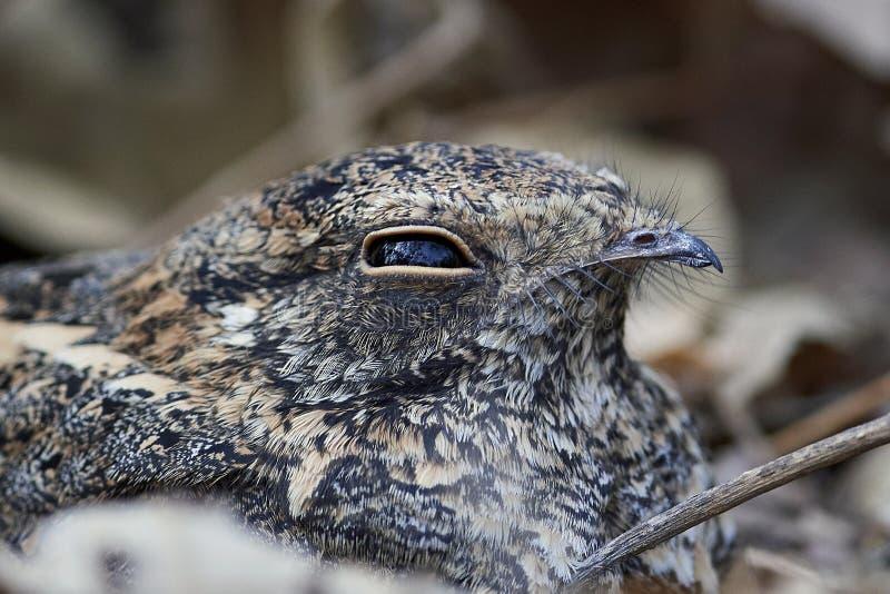 longipennis Estándar-cons alas del Caprimulgus del nightjar foto de archivo