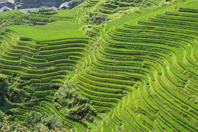 Download LongJi Rice Terraces (China) In Late Summer Stock Photo - Image: 10893246