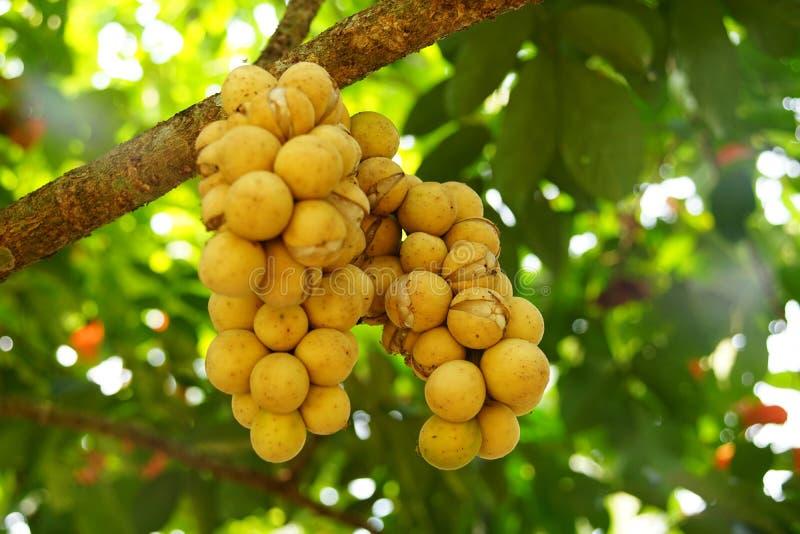 Longkong est employé pour le type qui a la peau qui est facilement épluchée sans latex laiteux Les fruits classés de boule de pin photographie stock