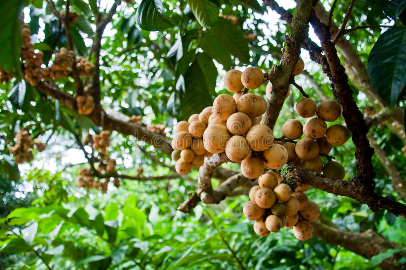 Longkong tropical fruit on the tree stock photos
