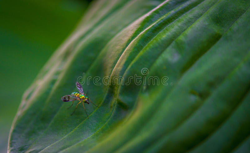 Longlegged Fly on a leaf stock images