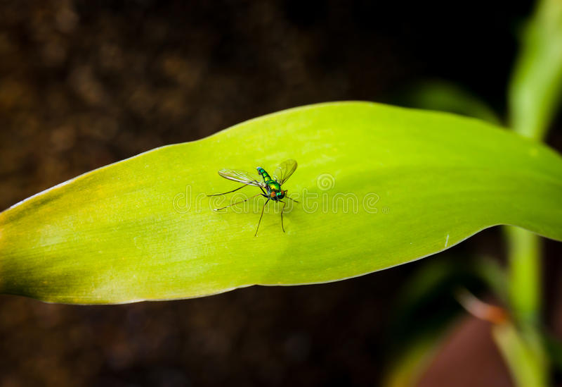 Longlegged komarnica na zielonym liściu obraz royalty free