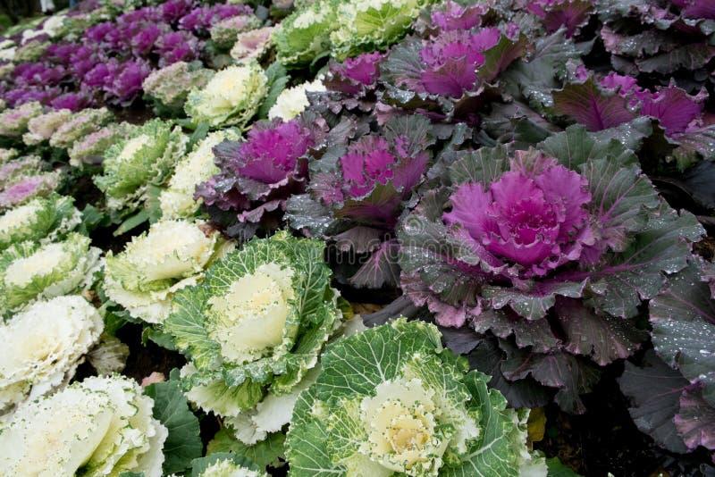 Longlived капуста (овощ салата) стоковые фотографии rf