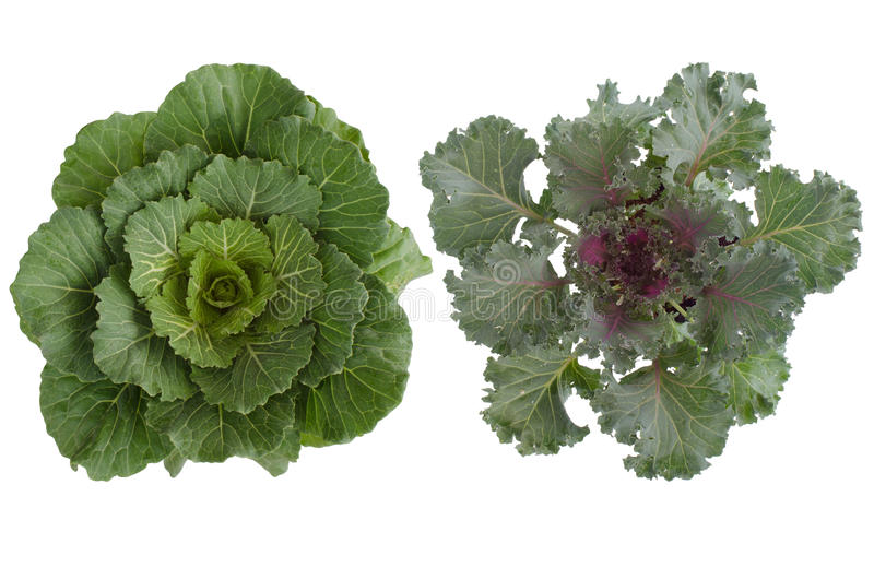 Longlived Cabbag (Brassica hybrid cv. Pule) royalty free stock photography