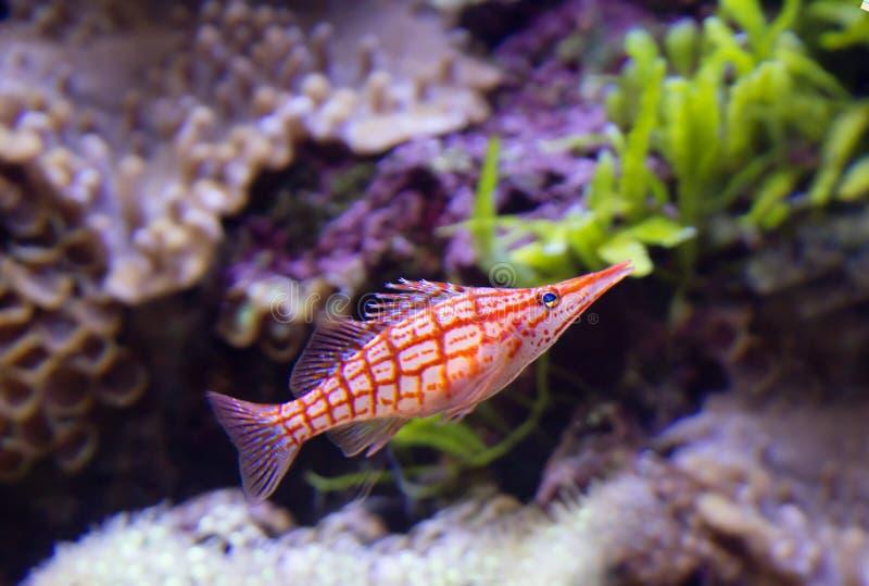Longnose Hawkfish royalty-vrije stock afbeelding