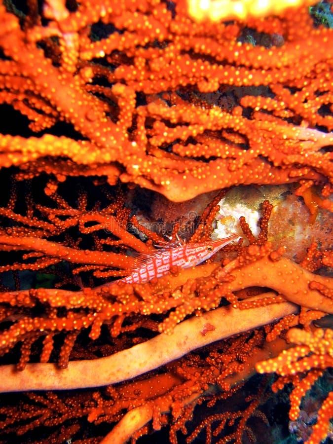 longnose hawkfish fotografering för bildbyråer