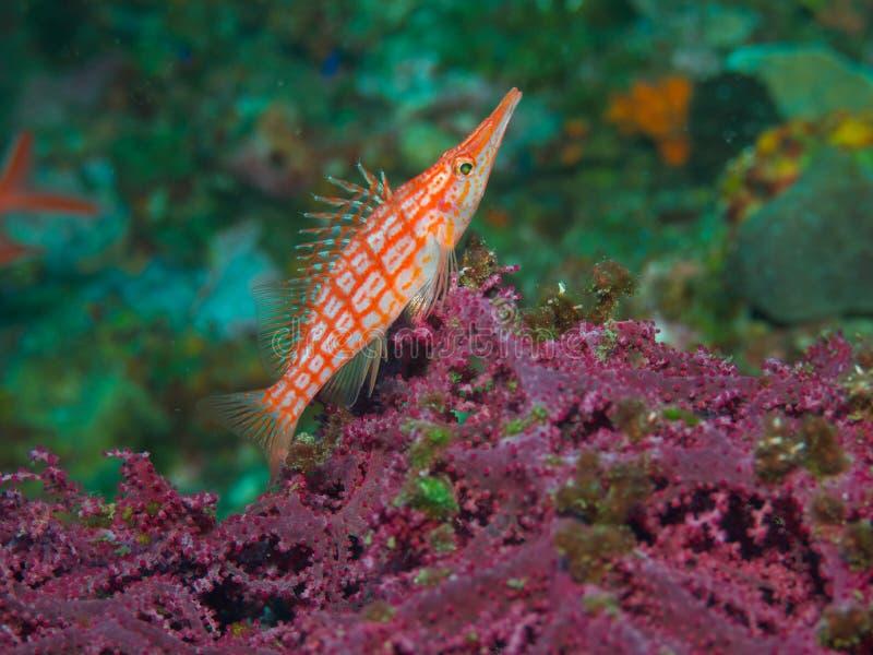 Longnose hawkfish 01. A longnose hawkfish surveys it's territory from its perch on a purple gorgonian stock images