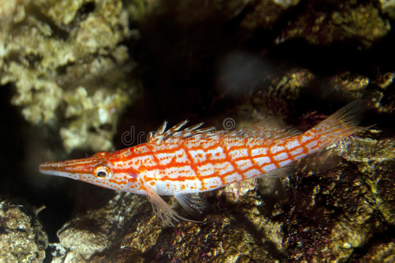 Longnose Hawkfish (typus Oxycirrhites) stock fotografie