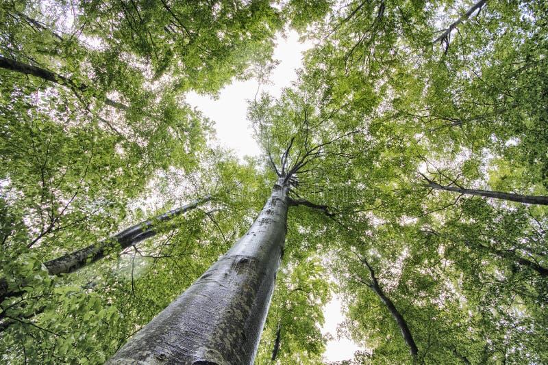 Longs arbres verts dans un temps de for?t au printemps photos stock