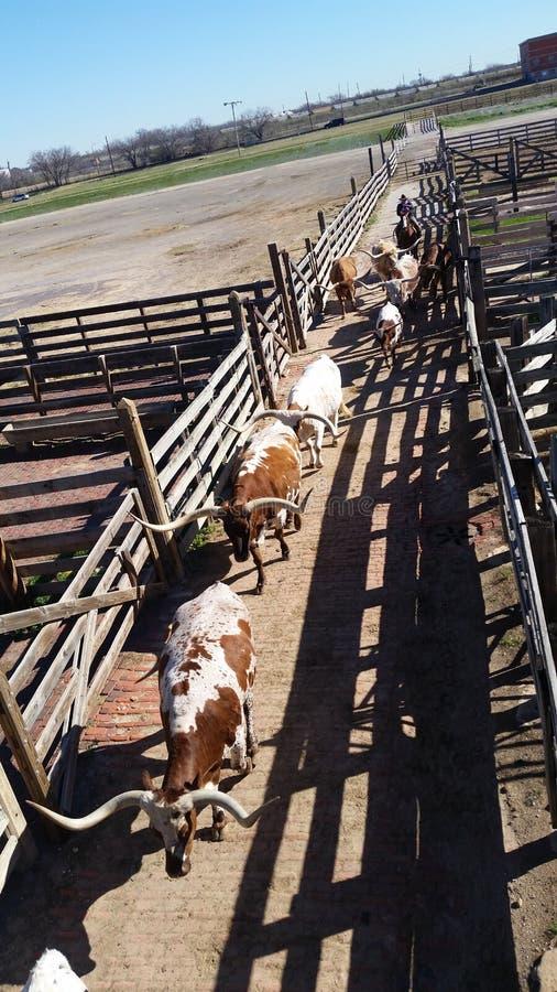 Longs bétail de klaxon arrondis dans des stylos photo libre de droits