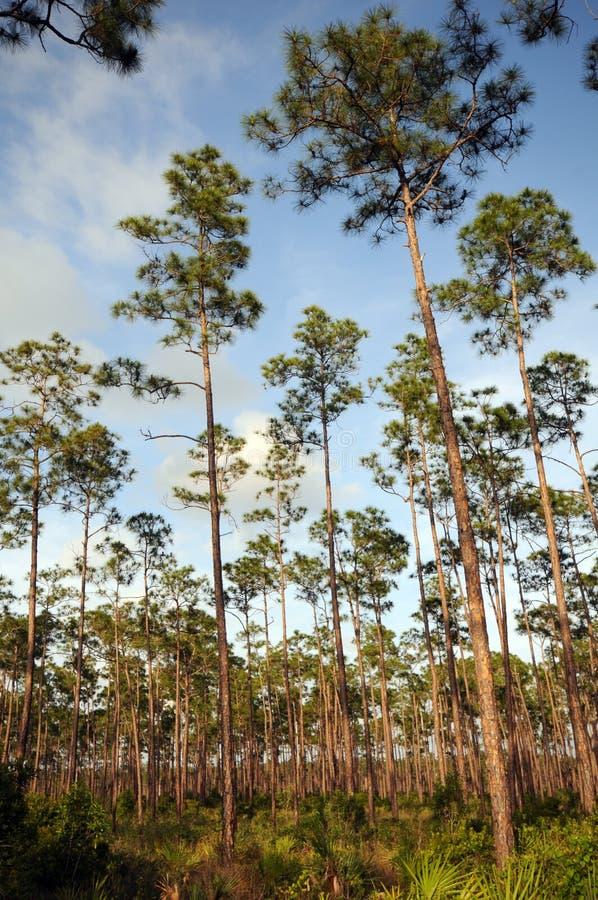 Longs marais de pins image libre de droits