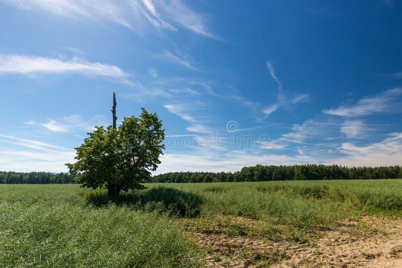 Longs nuages blancs au-dessus des usines de graine de colza avec l'arbre avec une branche sèche photographie stock