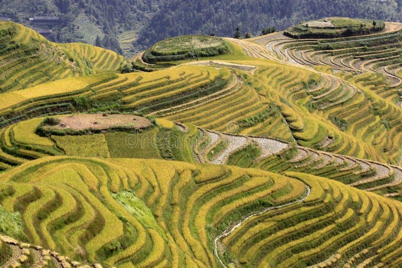 The yellow green Longsheng Rice Terraces Dragon`s Backbone also known as Longji Rice Terraces royalty free stock photo